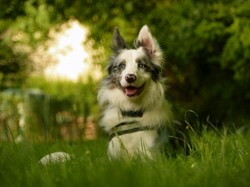 Lasko, chien Border Collie