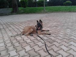Snyper, chien Berger belge