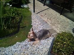 Soan, chien Yorkshire Terrier