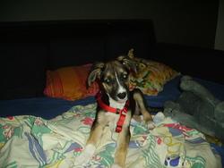 Socquette, chien