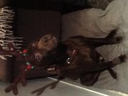 Socrate, chien Braque allemand à poil court