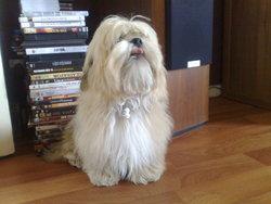 Socrate, chien Lhassa Apso