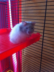 Socrate , rongeur Hamster