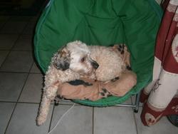 Socrate, chien Bichon maltais