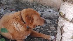 Socrate, chien Labrador Retriever