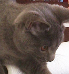 Socrate, chat Chartreux