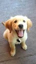 Soda, chien Golden Retriever