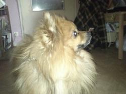 Soho, chien Spitz allemand