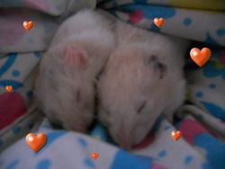 Soleil, rongeur Hamster
