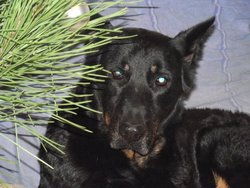 Soleil, chien Beauceron