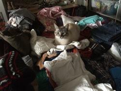 Solo, chat Siamois