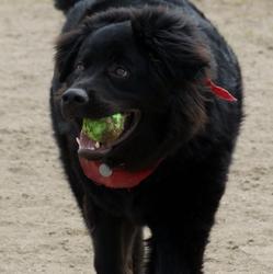 Solo, chien Terre-Neuve