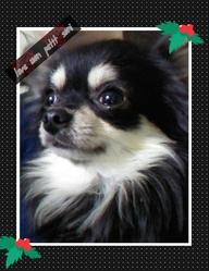 Soni, chien Chihuahua
