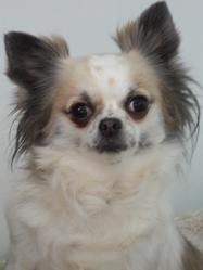 Sonia, chien Chihuahua