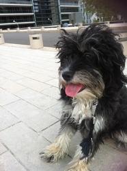 Sonia, chien Berger des Pyrénées