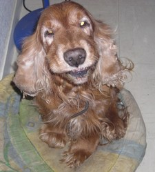 Sonkko, chien Cocker anglais
