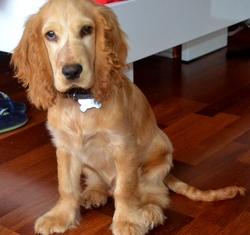 Sonny, chien Cocker anglais