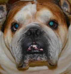 Sony, chien Bulldog