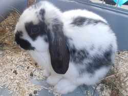 Sony, rongeur Lapin