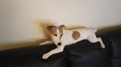 Sony, chien Jack Russell Terrier