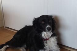 Soockie, chien Border Collie