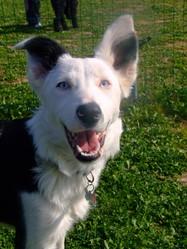 Sooki, chien Border Collie