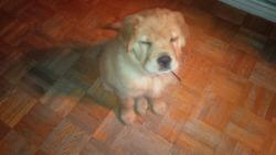 Sookie, chien Shar Pei