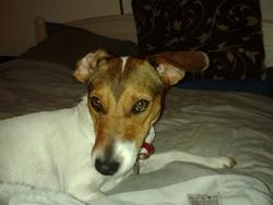 Sookie, chien Jack Russell Terrier