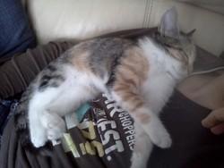 Sookie, chat Européen