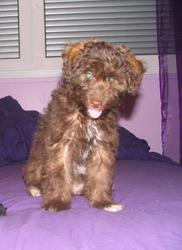 Sookie, chien