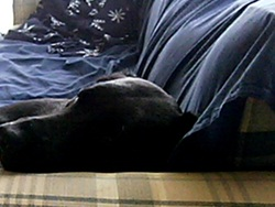 Sophie, chien Labrador Retriever