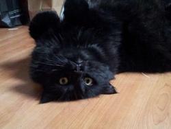 Sophie, chat Angora turc