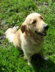 Sophie, chien Golden Retriever