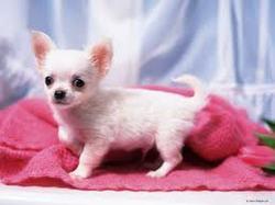 Sophie, chien Chihuahua