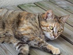 Sophie, chat Européen
