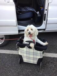 Sophie, chien Bichon maltais