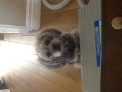 Sophy, chien Shih Tzu