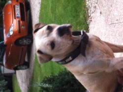 Sopra , chien American Staffordshire Terrier