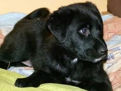 Soprane, chien Labrador Retriever