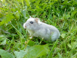 Soquette , rongeur Hamster