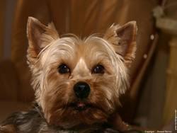 Soraya, chien Yorkshire Terrier