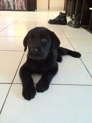 Sorcha, chien Labrador Retriever