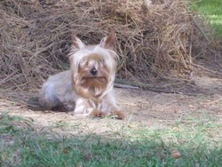 Sorgho, chien Yorkshire Terrier