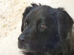 Sorok, chien Griffon fauve de Bretagne