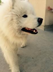 Sotchi, chien Samoyède