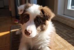 Sotchi, chien Border Collie