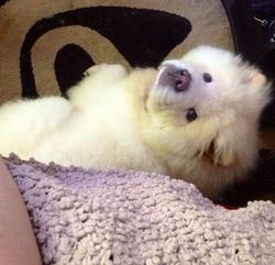 Souki, chien Chow-Chow