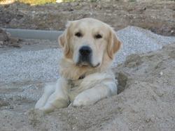 Souky, chien Golden Retriever