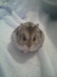 Soumi, rongeur Hamster