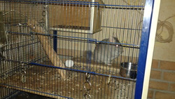 Souriceau, rongeur Chinchilla